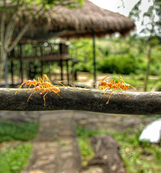 Asian ant highway
