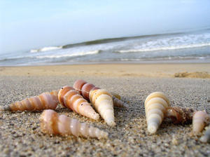 augur shells on the sand