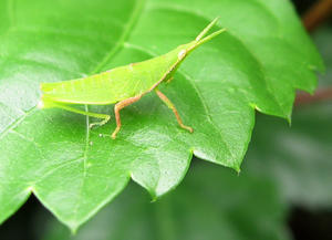 grasshopper: grasshopper on a leaf