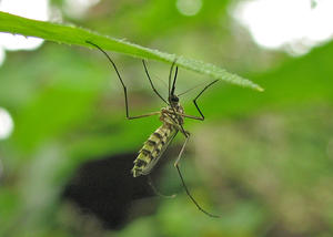 Mosquito: A Mosquito on (under?) a leaf