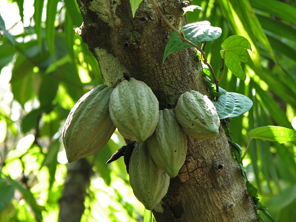 Cocoa pods: No description