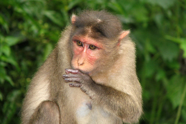 The Hunch: Common Indian Monkey