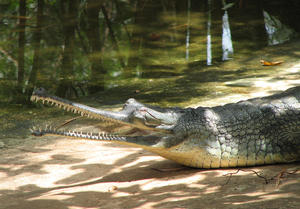 The Gharial: The Gharial, a critically endangered species, less than two thousand exist in the wild, and in captivity. Found mostly in the Gangetic belt of North India/ Bangladesh.