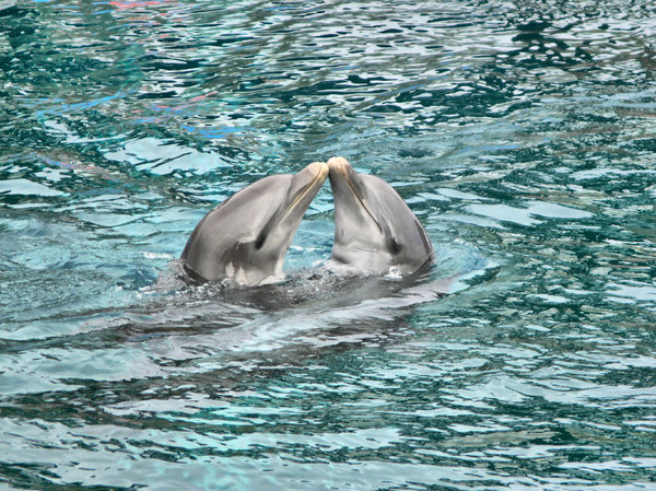 Dolphins. Give us a kiss: Dolphins 'kissing'
