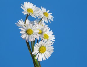 little daisies 3