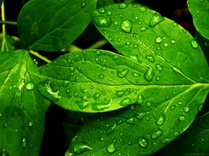 Fresh Leaves 1: Close up.Taken in the morning, after rain.