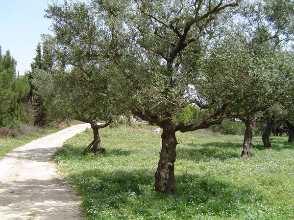 olive trees: olive trees in Greece