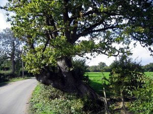 sloping old tree