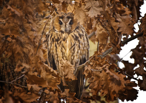 See me?: Owl in foliage