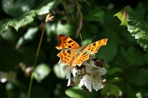 Comma butterfly: A comma butterfly (Polygonia c-album) on bramble (Rubus) flowers in Hampshire, England.