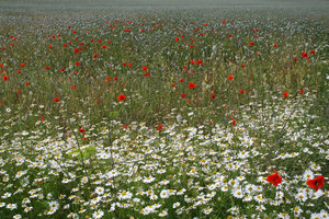 Meadow flowers: Wild summer flowers, mainly poppies and mayweed, growing in a meadow in Hampshire, England.
