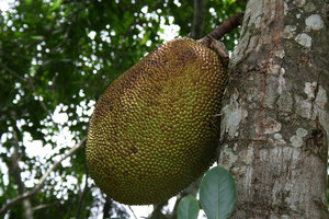 Jackfruit: A jackfruit (Artocarpus) growing in tropical forest in Hainan, China.