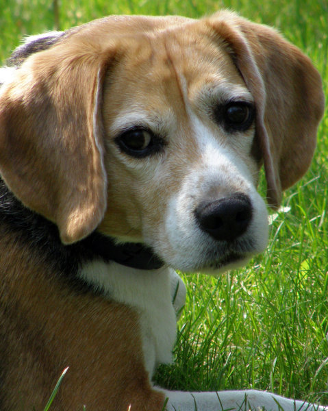 Dozer: A very gentle Beagle who looks better after losing 12 pounds.