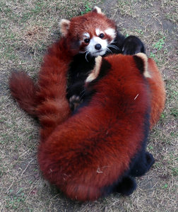Red Panda or Lesser Panda: Couple of red pandas playing with each other.