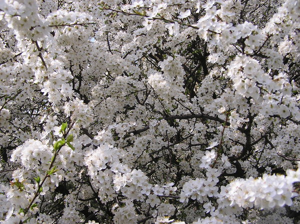 Blooming trees 1