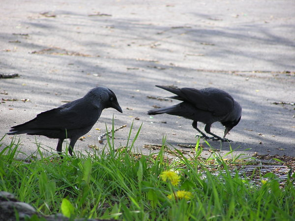 Jackdaws during the romantic w