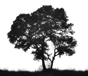 Tree silhouette: Silhouette of a black tree and grass against white backdrop