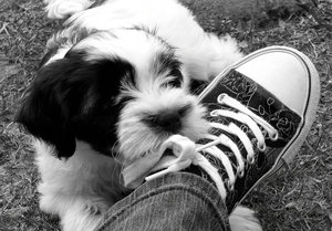 Puppy Love: Tibetan Terrier puppy nibbling on my shoe laces.Please let me know if you are able to use my pictures for anything.Even if it's something small --I would be absolutely thrilled to know if they came in useful for anyone!