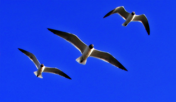 seagulls: seagulls flying at shore