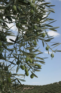 Olive tree: Detail of olive tree