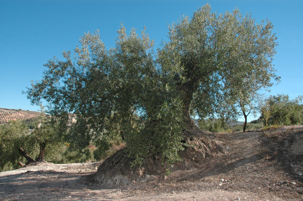 Olive centenary: Olive centenary with more than 500 years