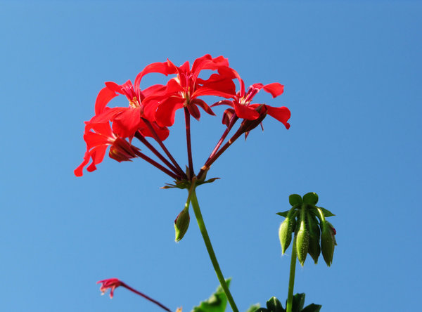 pelargonium: none