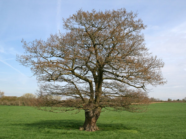 Spring tree: An old oak (Quercus) tree in West Sussex, England, in spring.