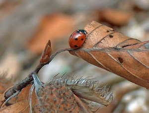 Lady bug: Ladybird from polish forrest