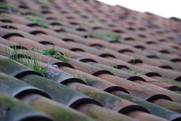 Grass on the roof: Some blades of grass on the red tiles