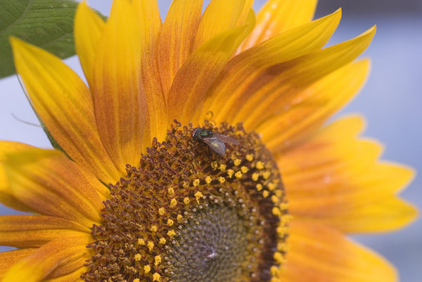 Sunflower with the fly