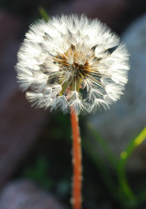 Dandelion clock sphere 1: Ball of parachutes - dandelion seeds