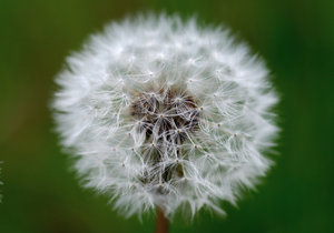 Dandelion clock sphere 3: Ball of parachutes - dandelion seeds
