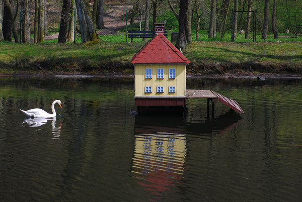 Swan and his house 2: Sawan guarding the house on the pond in the city park