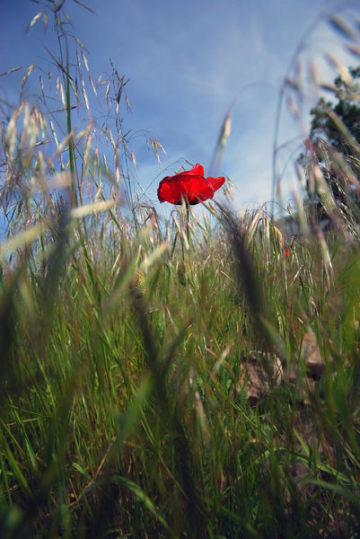 Meadow with the poppy flowers