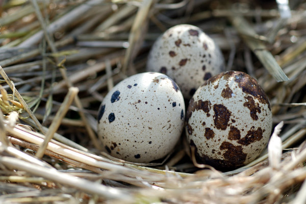 Eggs of quail in the nest: In the partridge nest