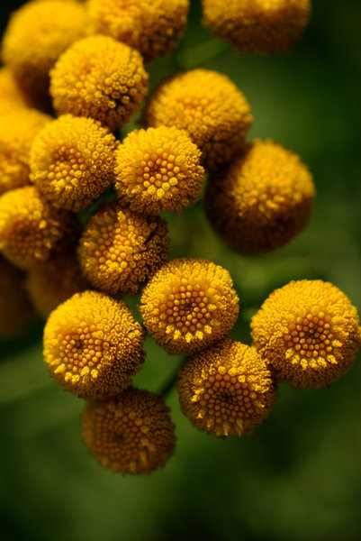 Tanacetum vulgare flowers 1: Perennial herbaceous flowering plant of the aster family that is native to temperate Europe and Asia
