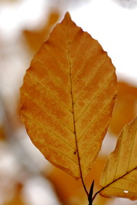 Autumn's leaf of beech