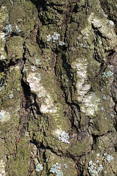 Bark - texture 4: Bark is the outermost layers of stems and roots of woody plants