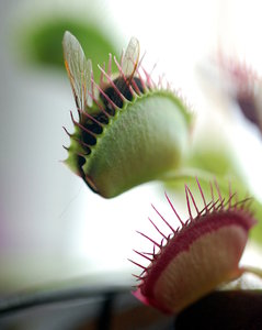 The Venus Flytrap 4: The Venus Flytrap, Dionaea muscipula, is a carnivorous plant that catches and digests animal prey�mostly insects and arachnids. Its trapping structure is formed by the terminal portion of each of the plant's leaves and is triggered by tiny hairs on