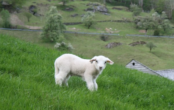 Lamb: Young lamb from the farm