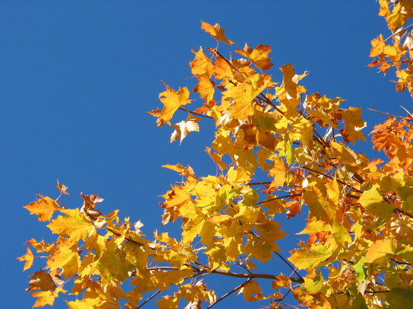 autumn leaves and blue sky 4: A beautiful day in Lund, Sweden. My Autumn Theme photos:http://www.sxc.hu/browse. ..