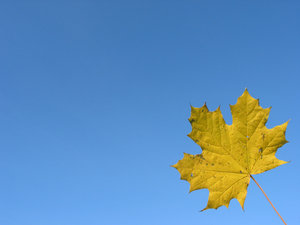 Late autumn maple 4