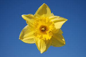 Wild daffodil 4: Wild daffodil. Widely used in Sweden in connection with Easter.