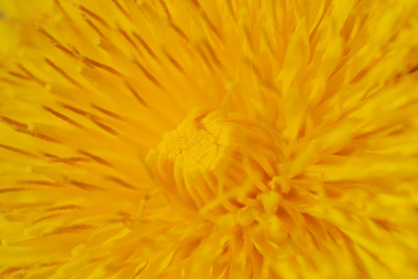 Dandelions 3: Dandelions, a very common weed in many parts of the world.