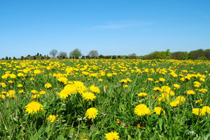 Dandelion world 2: Dandelion rules! May 2nd, Dalby, Sweden.