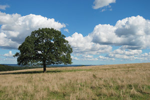 Open Landscape 1: Open landscape and solitary oak tree near Dalby, Sweden.