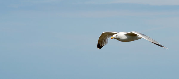 SoarGull: Soaring Gull captured at Kullen, Sweden.