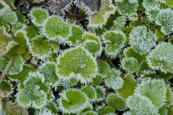 Frosty Leaves 1