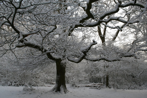 Snow laden: An oak (Quercus) tree in West Sussex, England, after a blizzard.