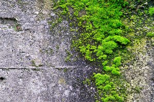 Moss on concrete: Moss growing on concrete.